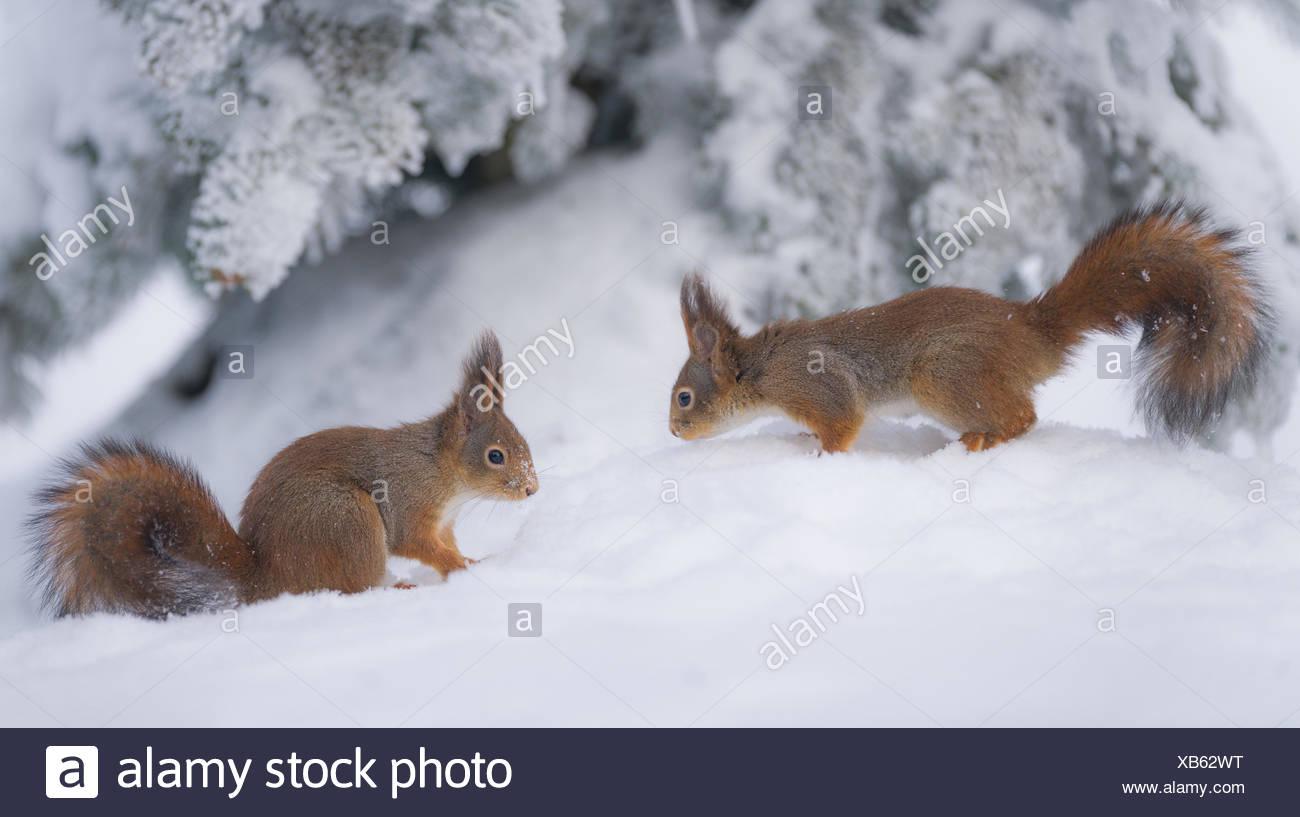 Deux écureuils rouges dans la neige Photo Stock