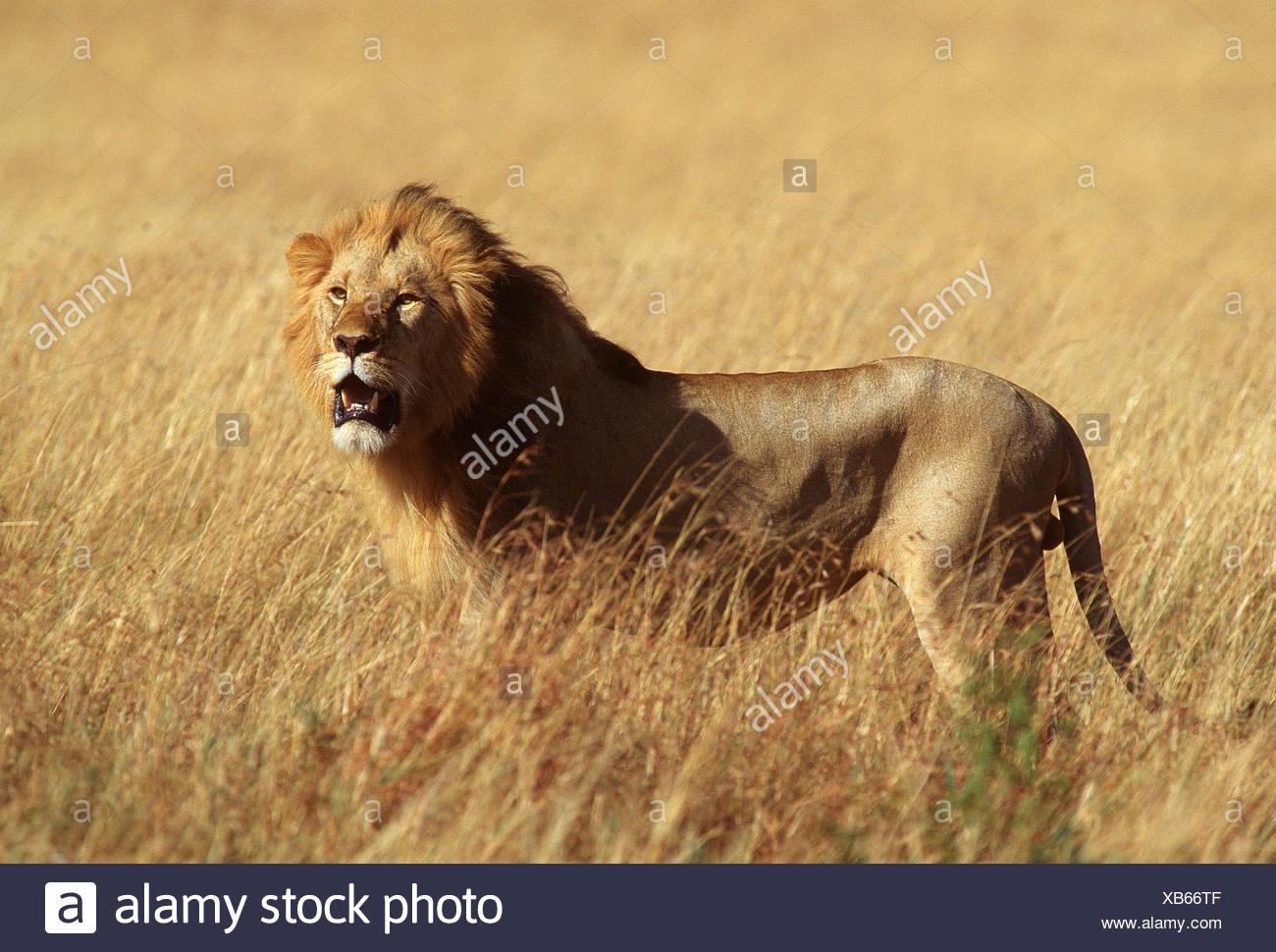 Lion, Serengeti, Afrique Photo Stock