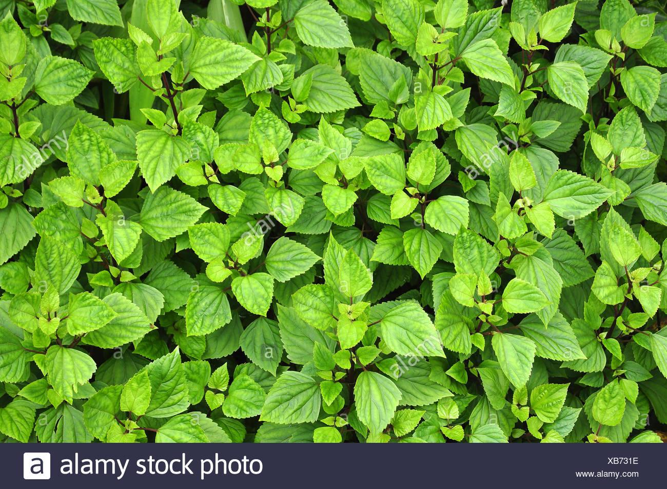 Les feuilles dentelées vert Photo Stock
