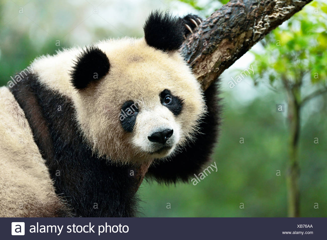 Panda géant (Ailuropoda melanoleuca) perché sur un arbre, captive, Chengdu Research Base de reproduction du Panda Géant ou Chengdu Panda Photo Stock