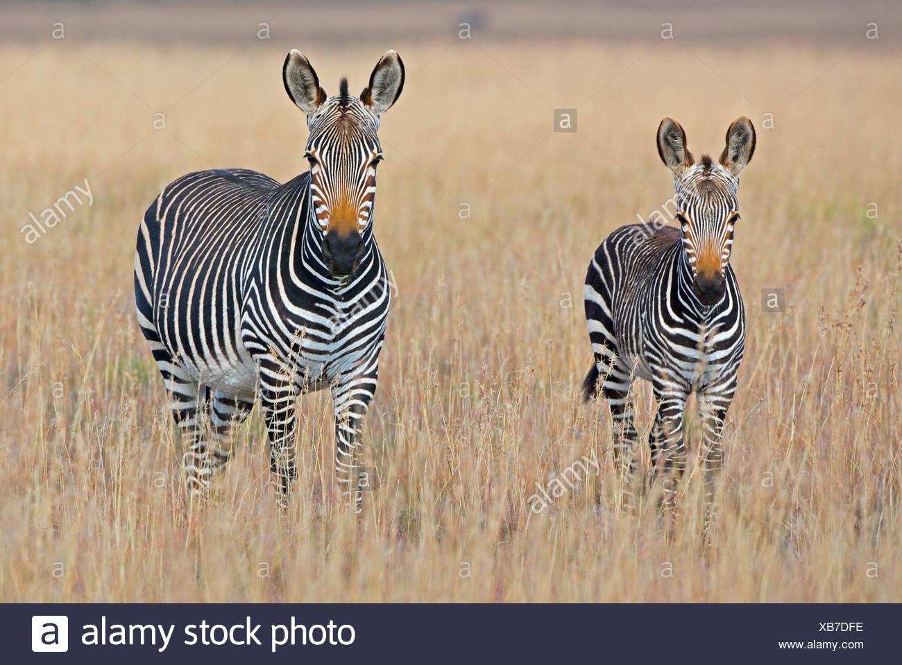 Zèbre des plaines (Equus quagga) avec poulain dans les prairies, Mountain Zebra National Park, Province orientale du Cap, Afrique du Sud Photo Stock