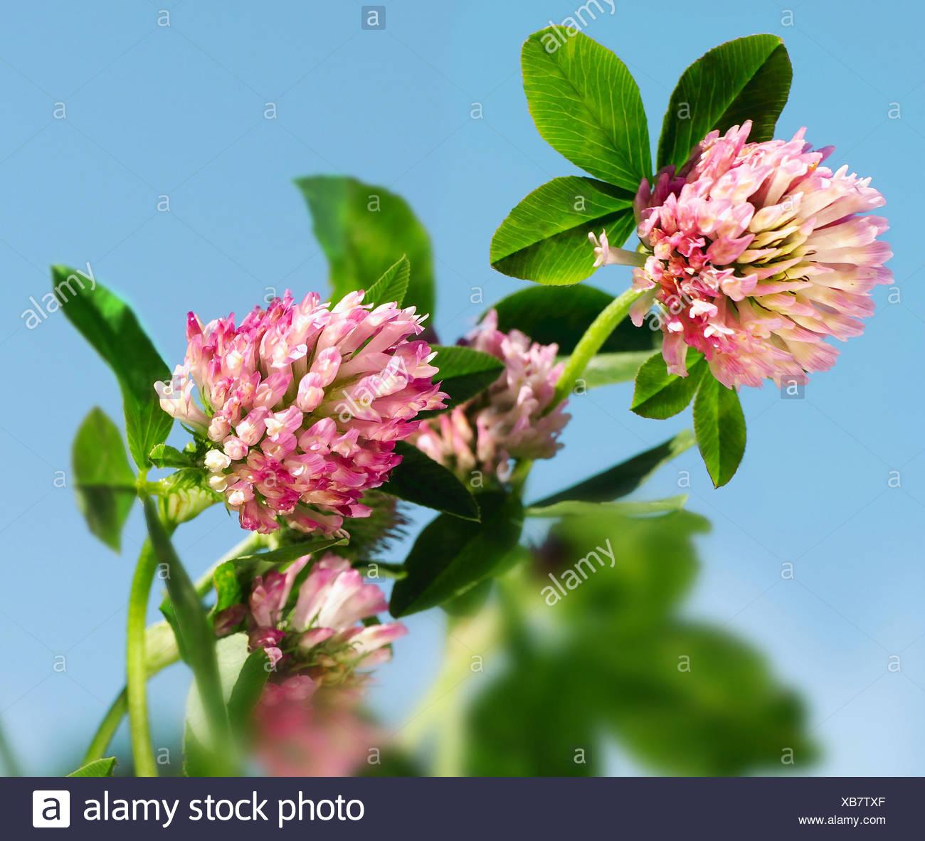 Trefle Des Pres Trifolium Pratense Fleurs Rouge Plantes Trefle