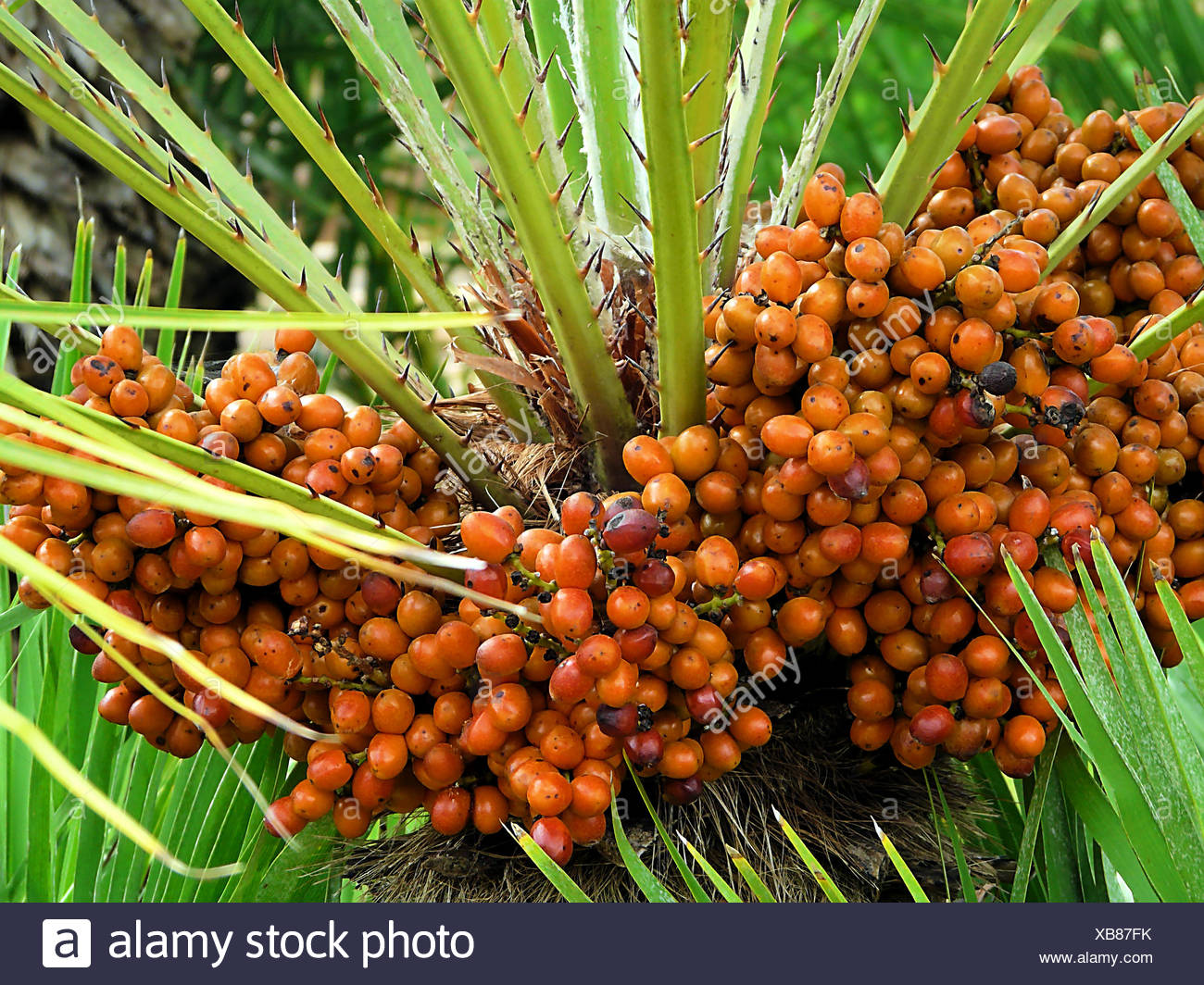 fruit palmier dattier arbre plante utile feuille date palm tree