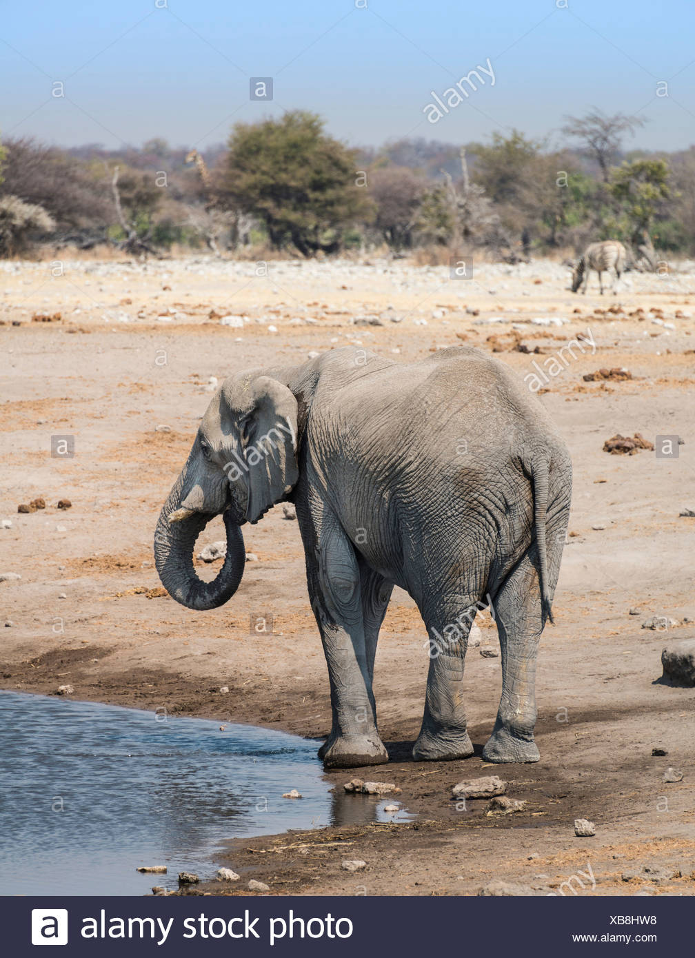 L'éléphant africain (Loxodonta africana) à l'Chudop waterhole, Etosha National Park, Namibie Photo Stock