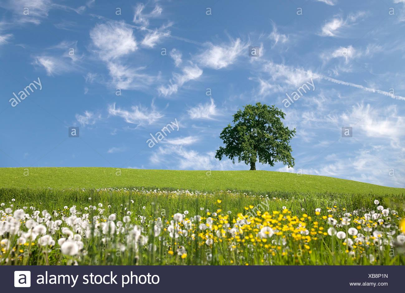 Oak tree on hill au printemps Photo Stock