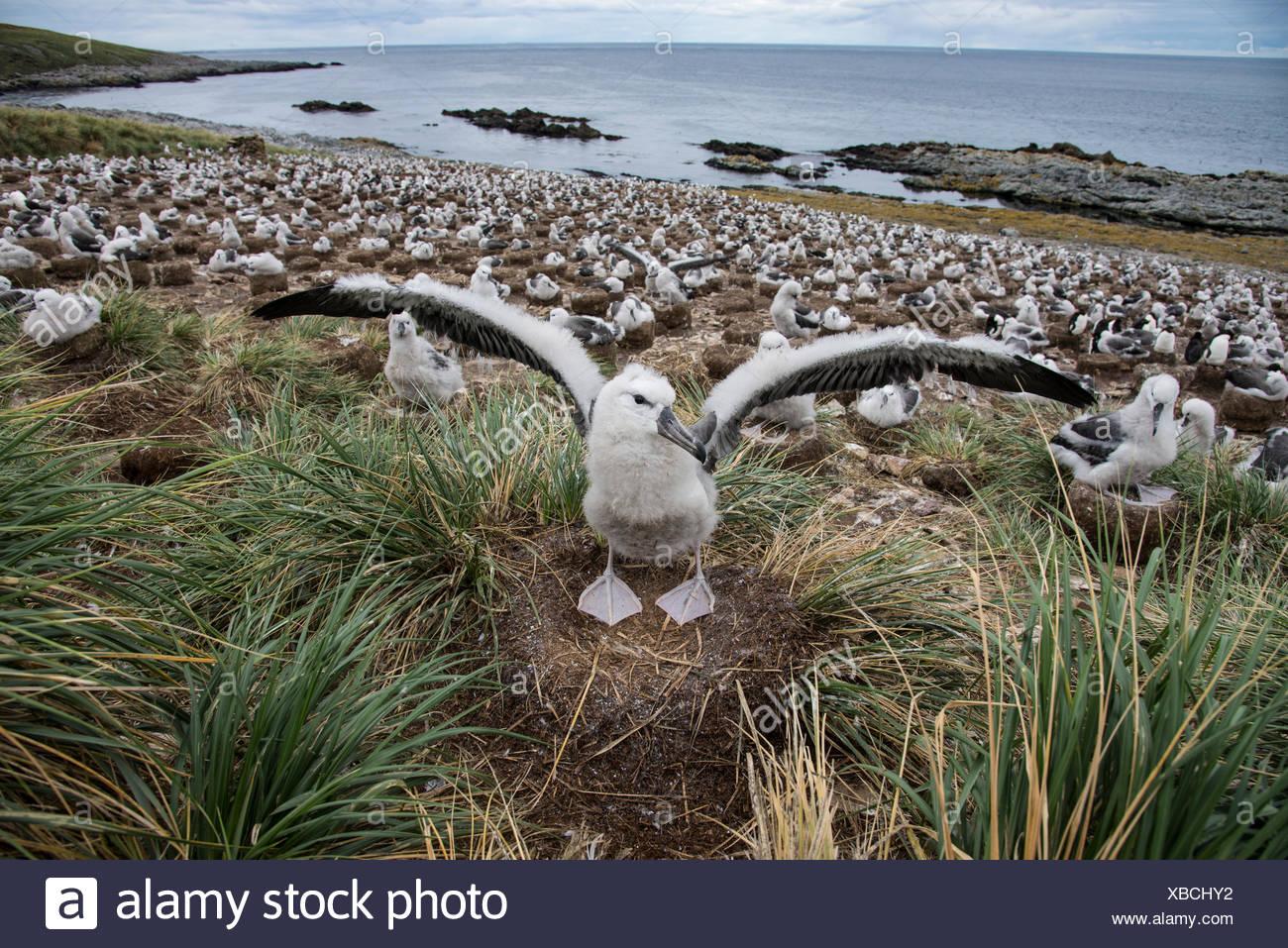Une corneille noire étend ses ailes devant la colonie d'albatros sur la plage. Photo Stock