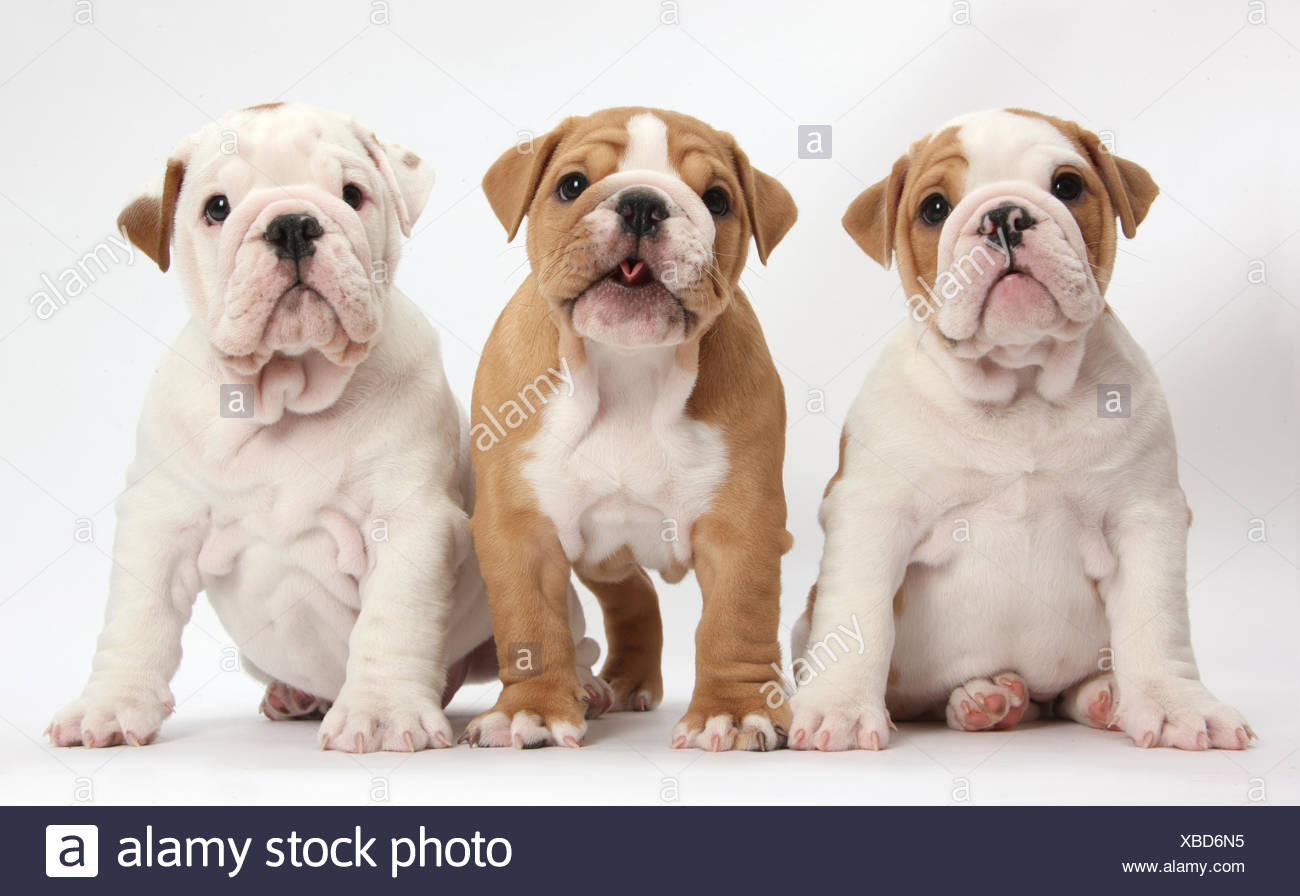 Trois Chiots bulldog, against white background Photo Stock