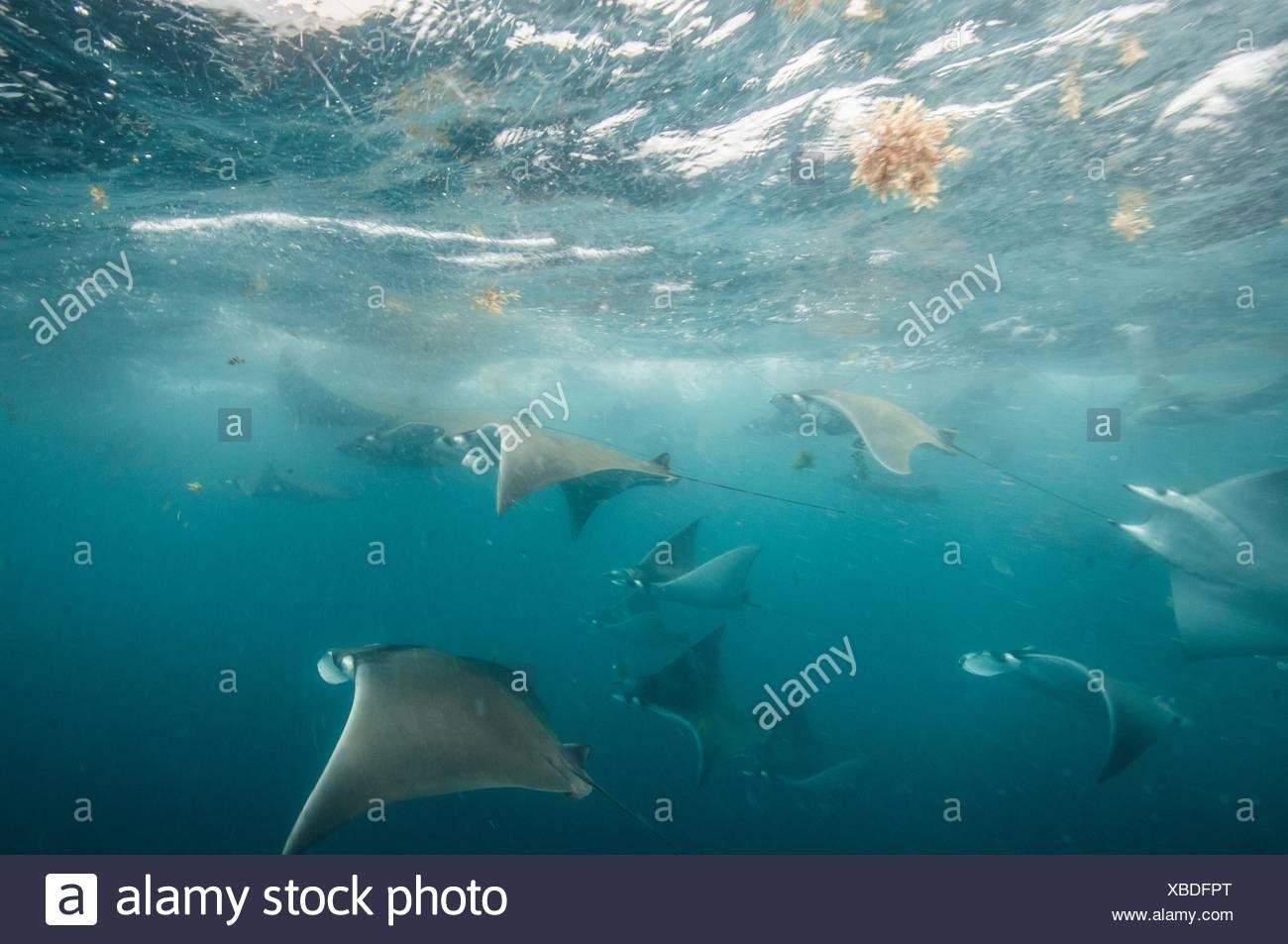 Sous-vue de mobula rayons x pour les migrations de rassemblement autour de la péninsule du Yucatan, l'île de Contoy, Quintana Roo, Mexique Photo Stock