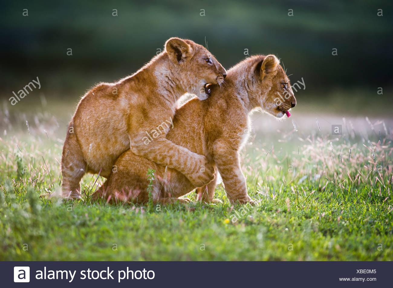 L'African Lion cubs environ 4 mois cub jouer ensemble, Grand Marais, Serengeti, Tanzanie Banque D'Images