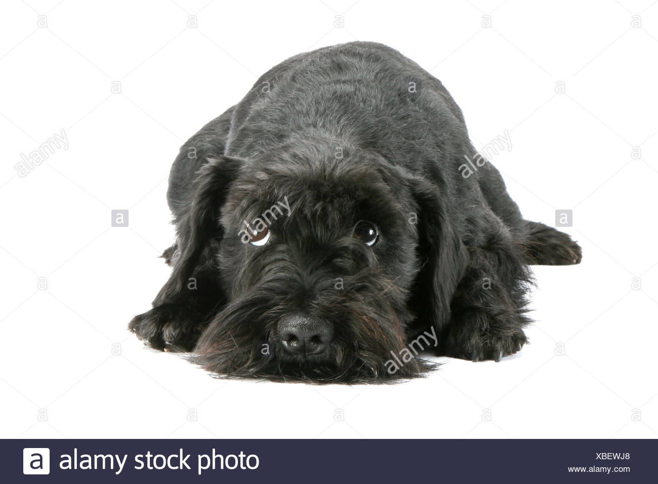 Schnauzer Standard - ment, cut out Photo Stock