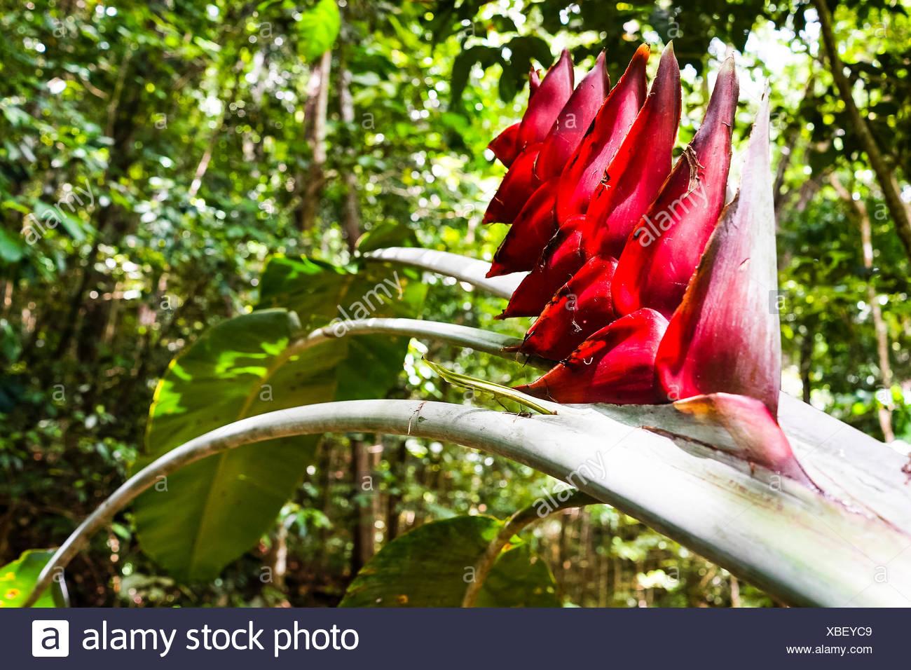 Zoom Sur Une Banane Rouge Fleur Foret De Montravail Martinique