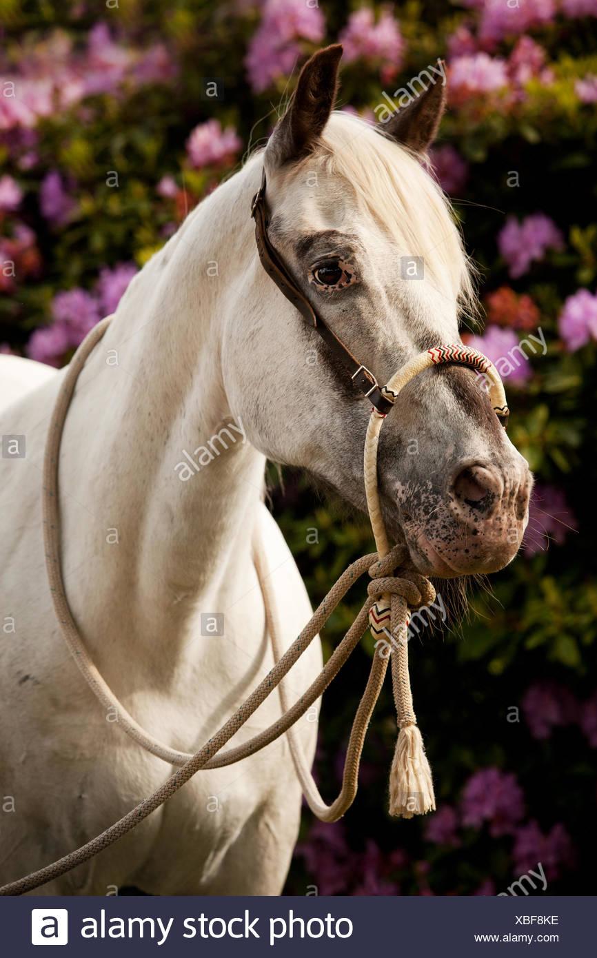 POA, poney des Amériques, cheval blanc portant un Bosal hackamore, un bitless bridle utilisé en équitation Western Banque D'Images
