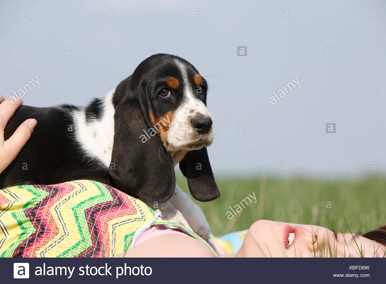 Basset Hound (Canis lupus f. familiaris), 8 semaines vieux chiot couché sur une fille dans un pré, Allemagne Banque D'Images