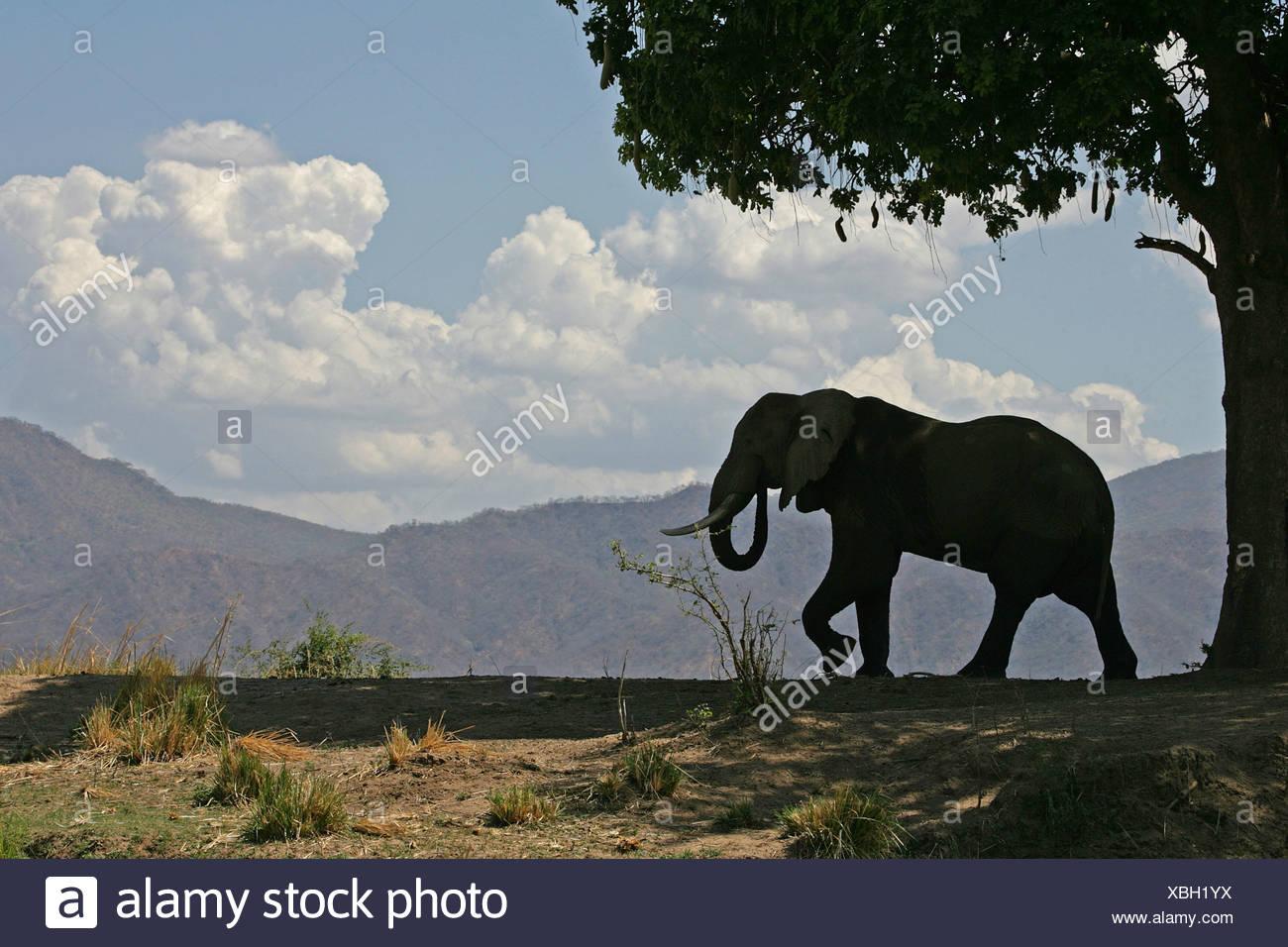 Bull et l'éléphant d'arbre à saucisse, Mana Pools, Zimbabwe Photo Stock