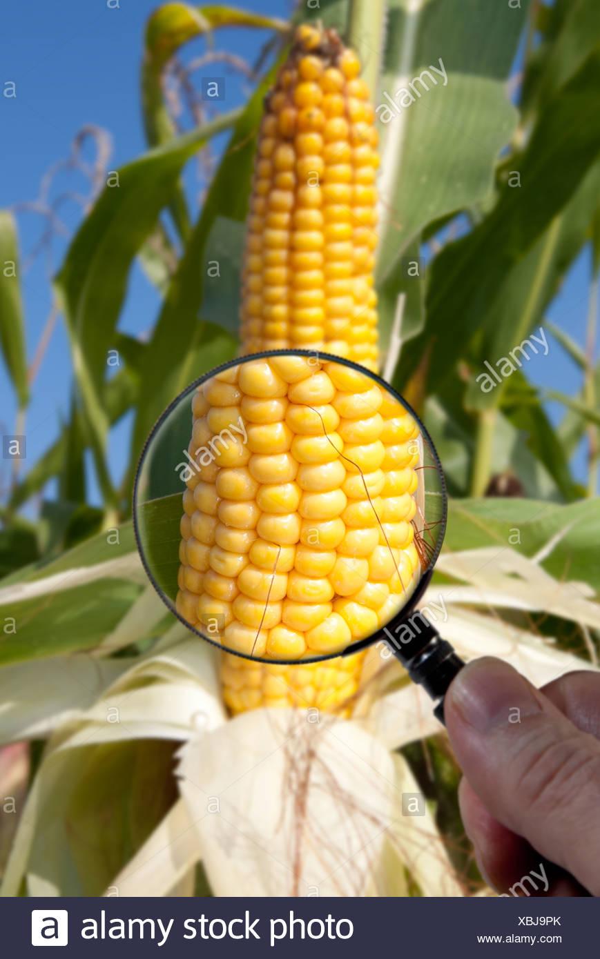 Le maïs génétiquement modifié ou du maïs est examiné sous la loupe Photo Stock