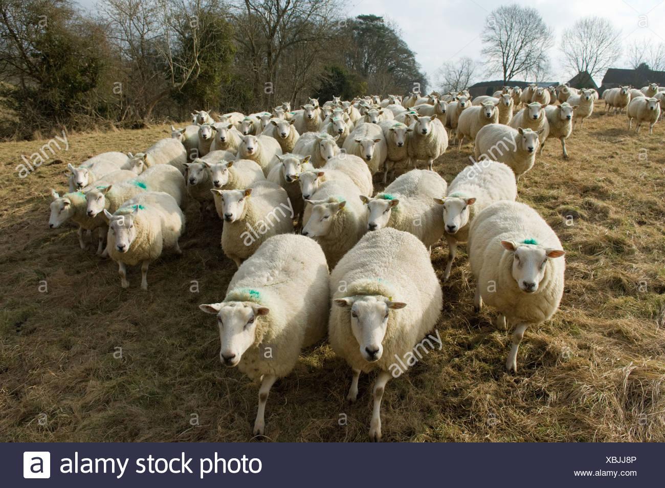 Troupeau de moutons Photo Stock