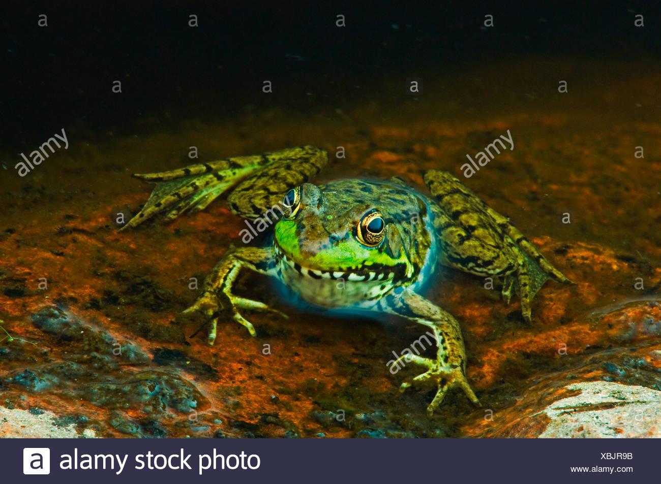 Close-up de la grenouille verte (Rana clamitans) à bord d'étang, Killarney Provincial Park, Ontario, Canada Photo Stock