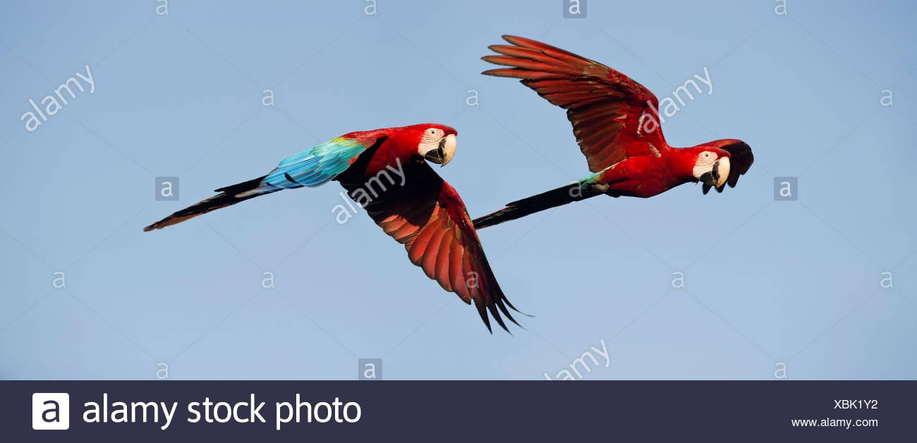 Paire de rouges et vertes (Green-winged) Aras en vol, Chapada dos Guimaraes, Brésil (Ara chloropterus) Photo Stock