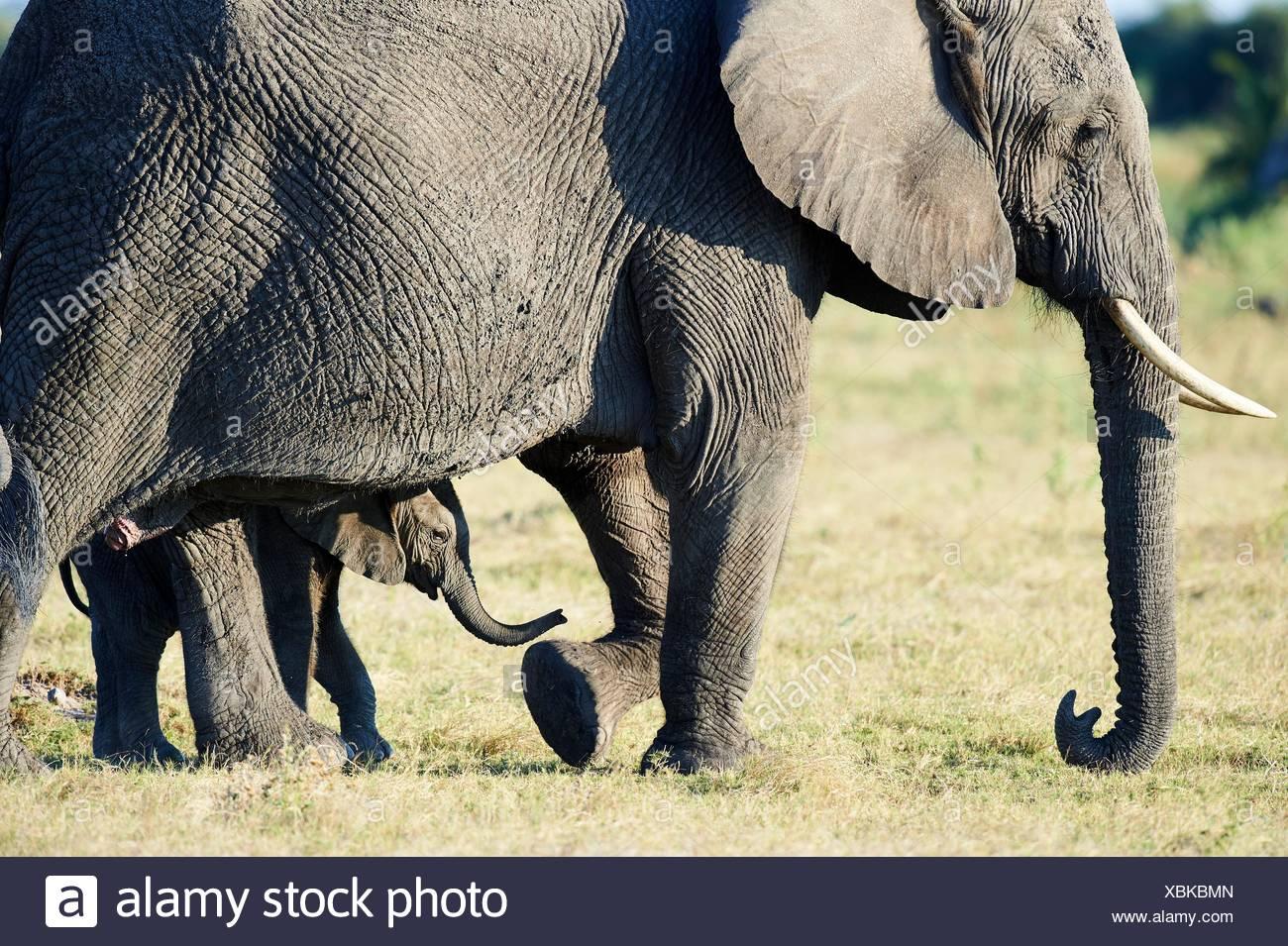 L'éléphant d'Afrique Mère et jeune veau (Loxodonta africana), Duba Plains, Okavango Delta, Botswana, Afrique du Sud. Photo Stock