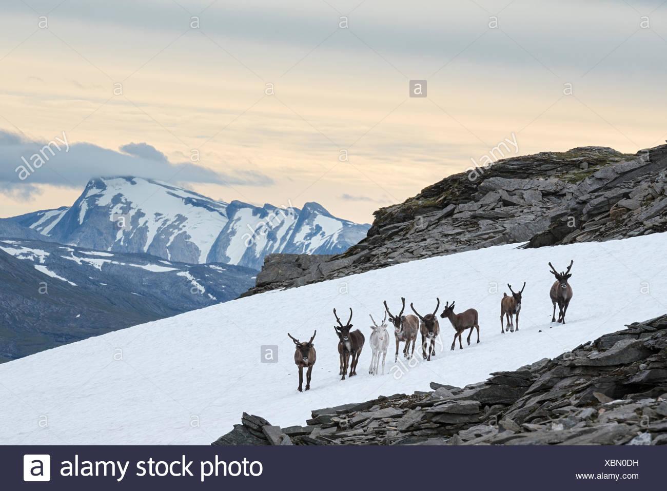 Sur une chaude journée d'été, semi-domestiquées renne, Rangifer tarandus, recueillir sur plaques de neige afin de refroidir et d'éviter les insectes. Photo Stock