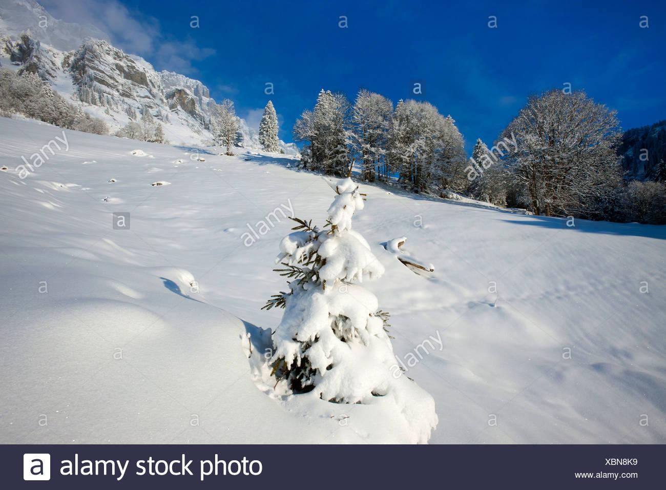 Klausenpass, Uri, Suisse, Europe, le canton de Glaris, hiver, neige, montagnes, arbres, jeunes, nouveaux, l'épinette Banque D'Images