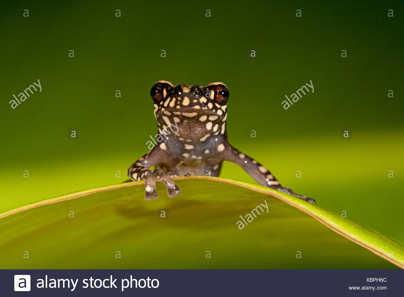 Photo d'un Tukeit frog hill reposant sur une feuille verte sur fond vert Photo Stock