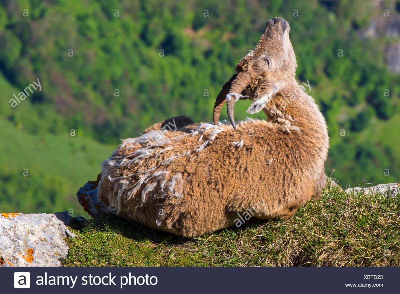 , Alpen-Steinbock Alpensteinbock (Capra ibex, Capra ibex ibex), Geiss im Fellwechsel liegt auf einer sich und kratzt Felskante mi Photo Stock