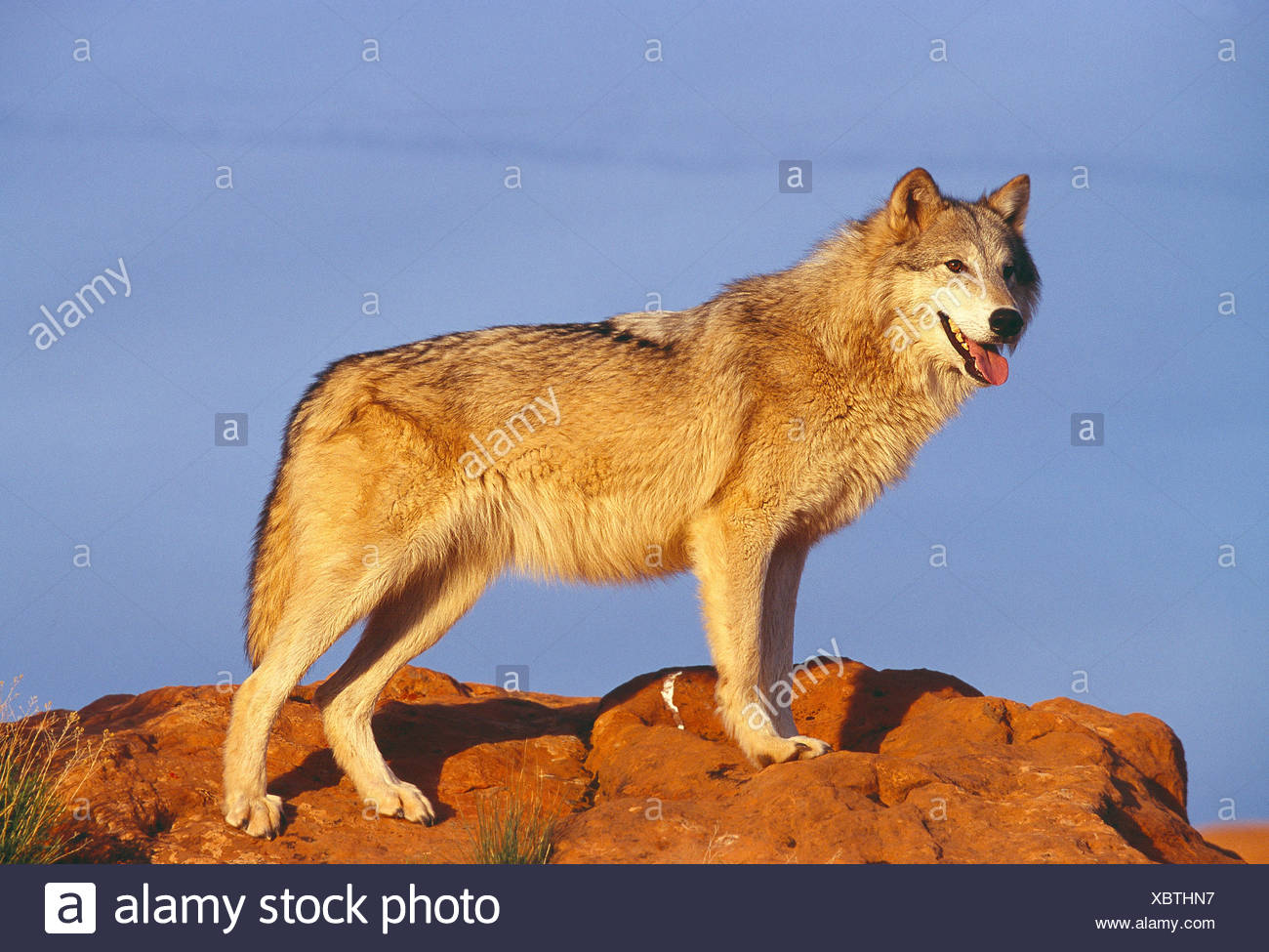 USA. La faune. Loup gris. Photo Stock