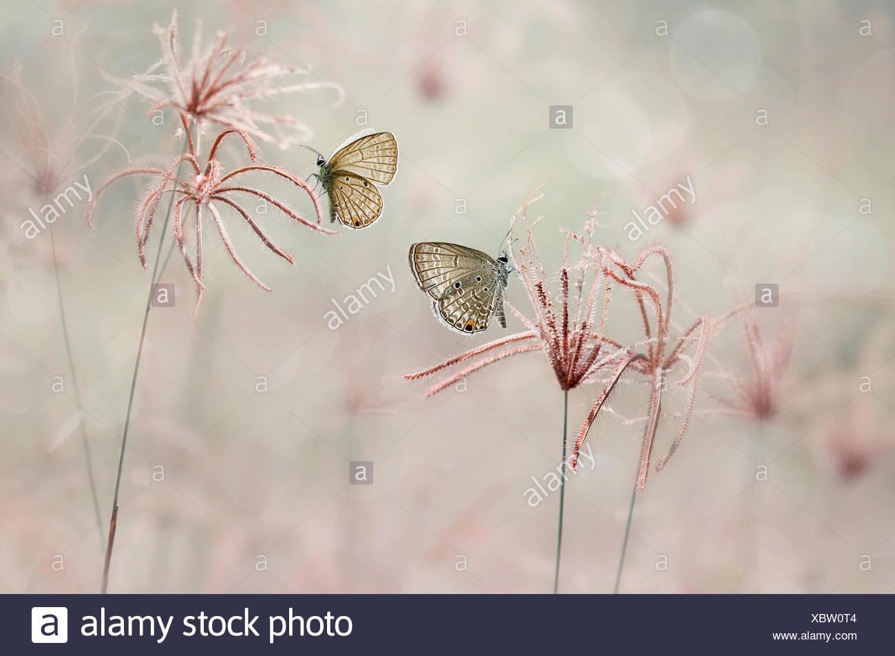 Deux papillons, Jombang, à l'Est de Java, Indonésie Photo Stock