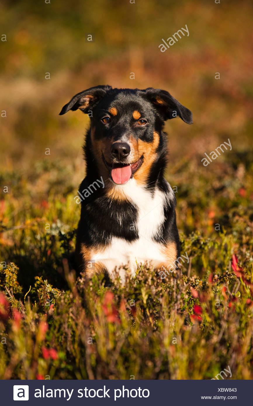L'Appenzeller Sennenhund, jeune chien à l'automne, en Amérique du Tyrol, Autriche Photo Stock