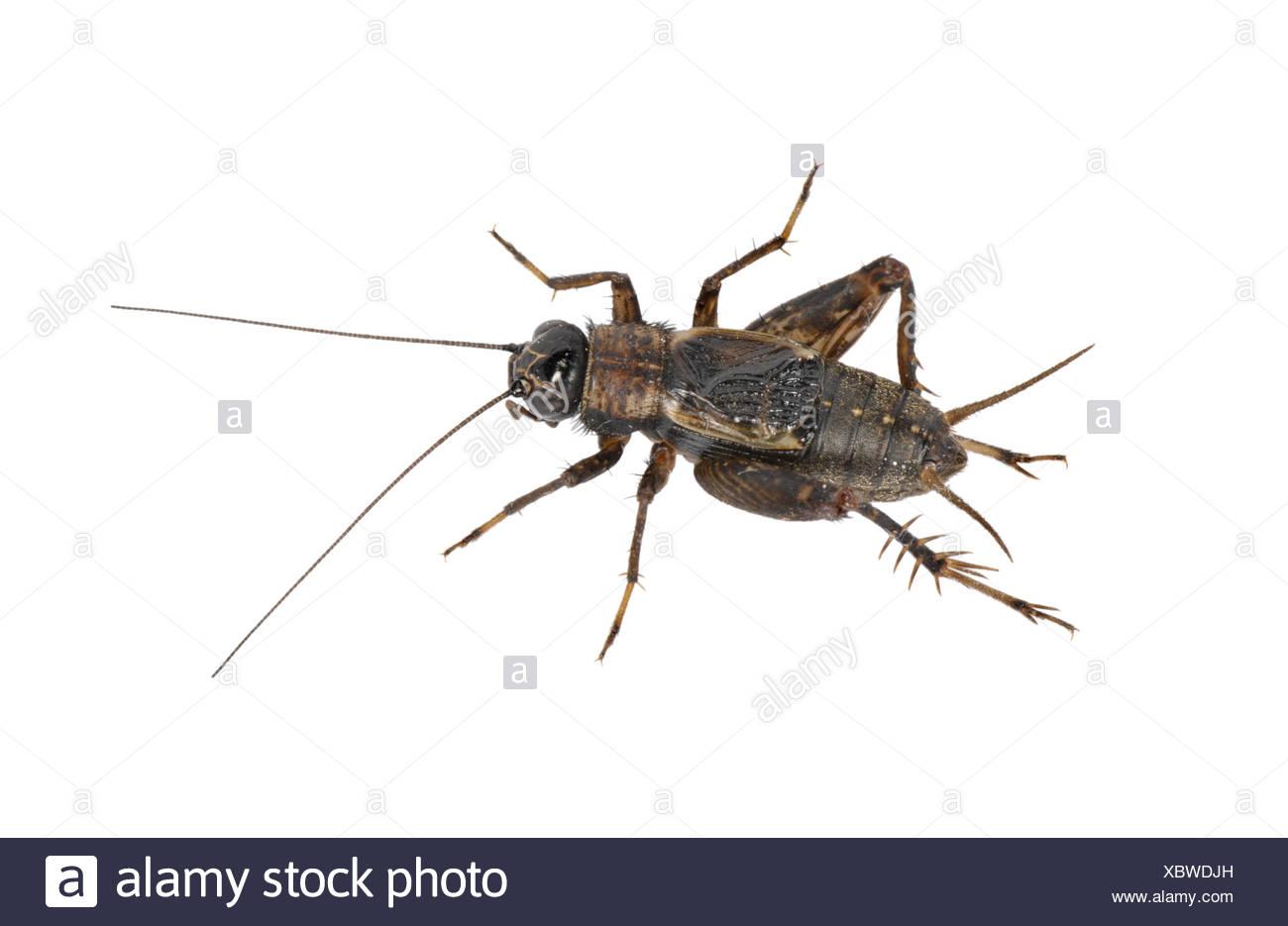 Cricket - bois Nemobius sylvestris - mâle Photo Stock