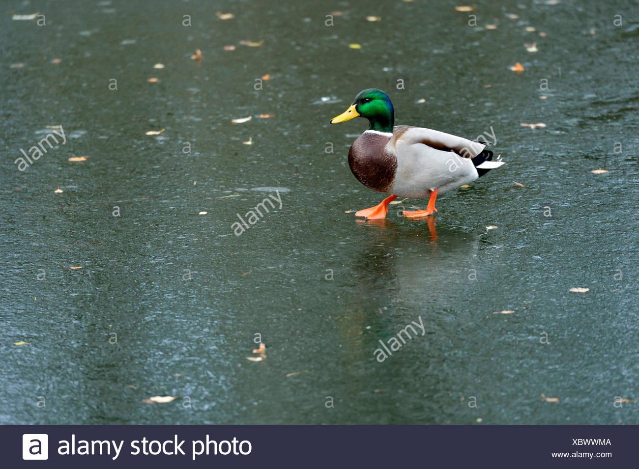 Le Canard colvert (Anas platyrhynchos), Drake, marcher sur la glace, Cham, Suisse Photo Stock
