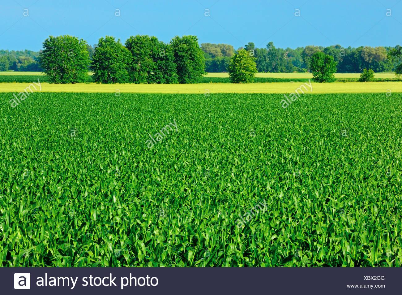 Agriculture - Milieu pré-croissance du maïs-grain panicule champs / près de Riceville, Ontario, Canada. Photo Stock