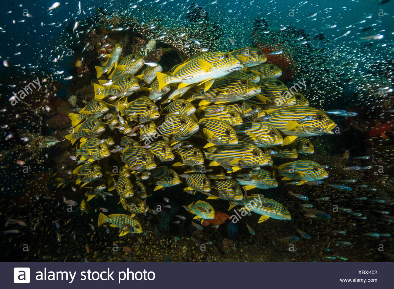 Banc de gaterins, ruban jaune Plectorhinchus polytaenia, Raja Ampat, Papouasie occidentale, en Indonésie Photo Stock