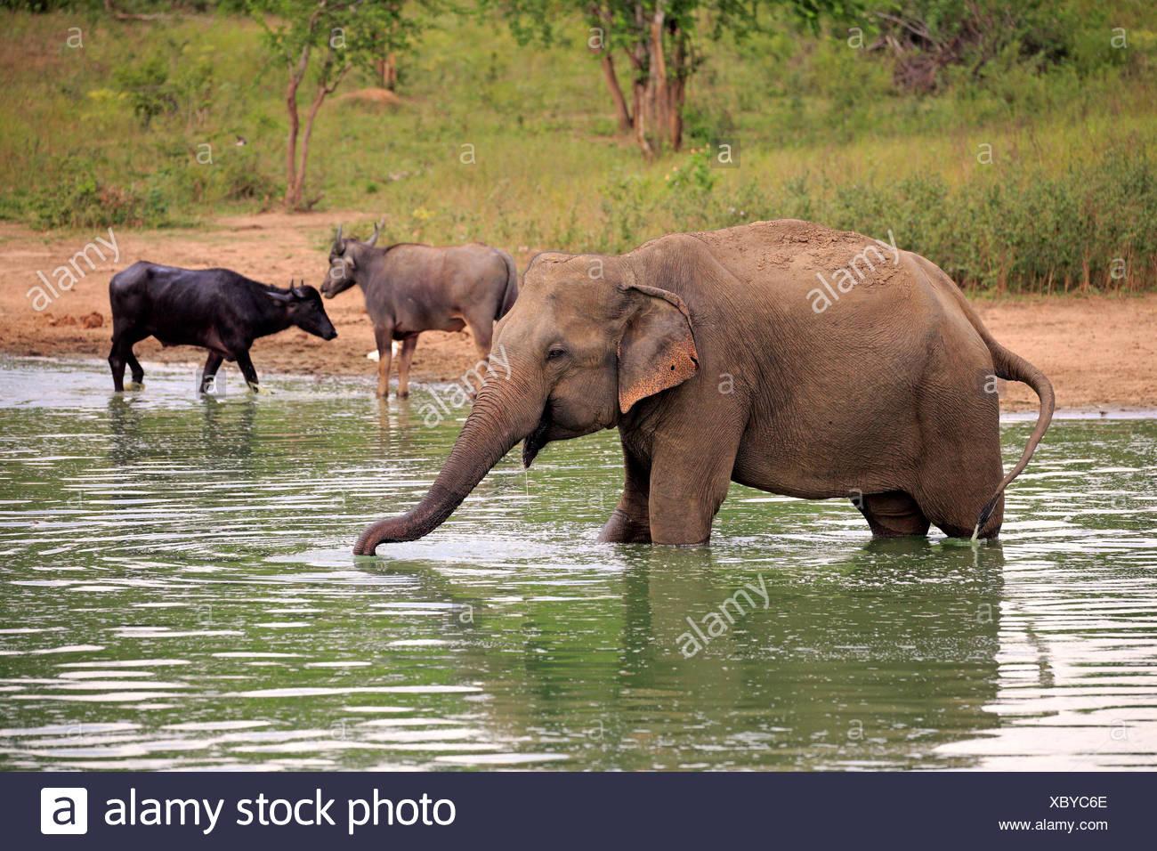 L'éléphant, du Sri Lanka, de l'éléphant d'Asie Nationalpark Udawalawe, Sri Lanka, Asie / (Elephas maximus maximus) Photo Stock