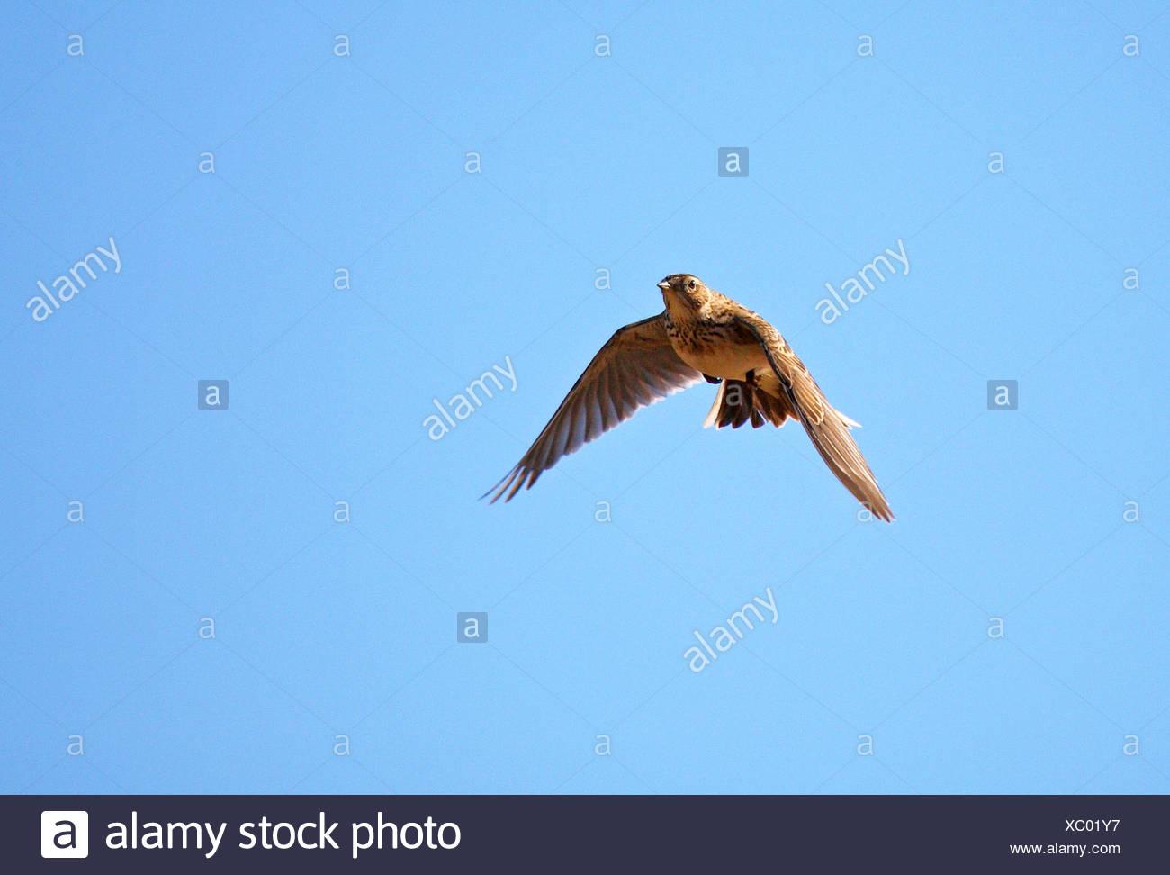 Alouette eurasienne (Alauda arvensis), en vol, Allemagne Photo Stock
