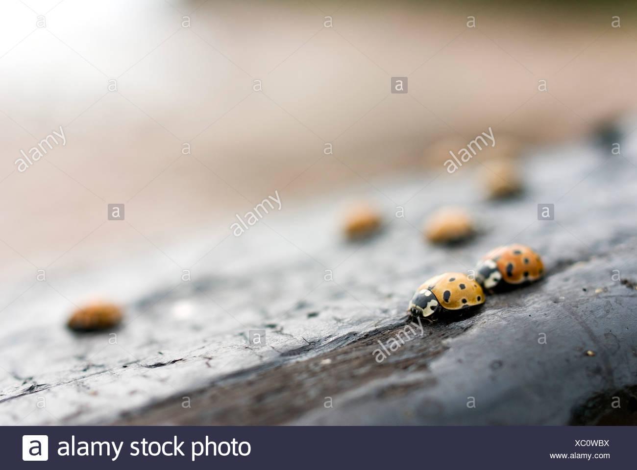 Focus sélectif des coccinelles sur bois Photo Stock