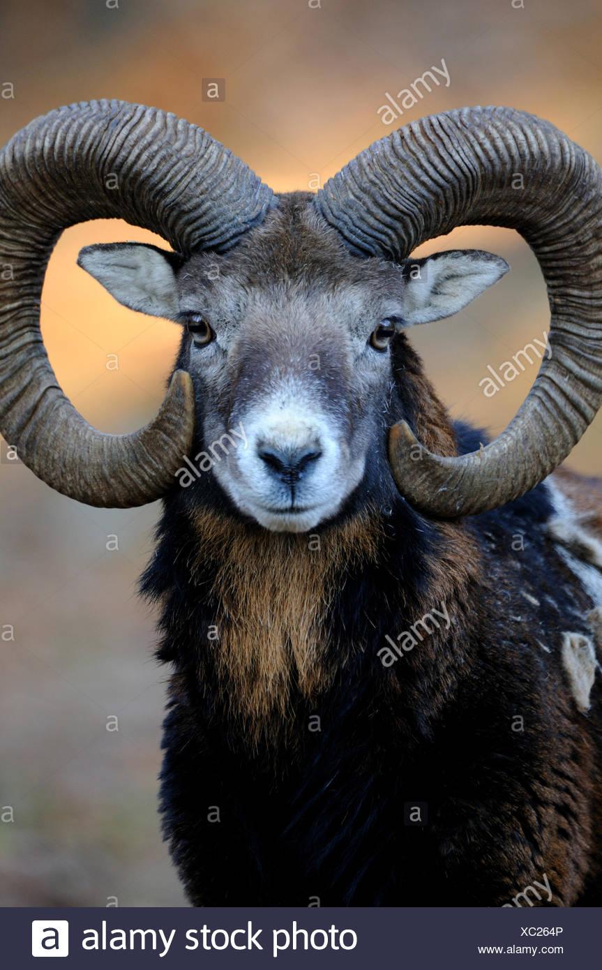Mufflon ram mountain sheep Ovis ammon musimon pelage d'hiver, les moutons moutons sauvages-chèvre antilopes corne cornes Mufflons, animal animaux Photo Stock