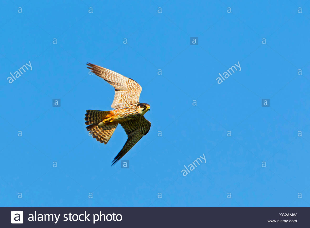 Le nord de l'hobby (Falco subbuteo), voler, Allemagne, Rhénanie-Palatinat Photo Stock