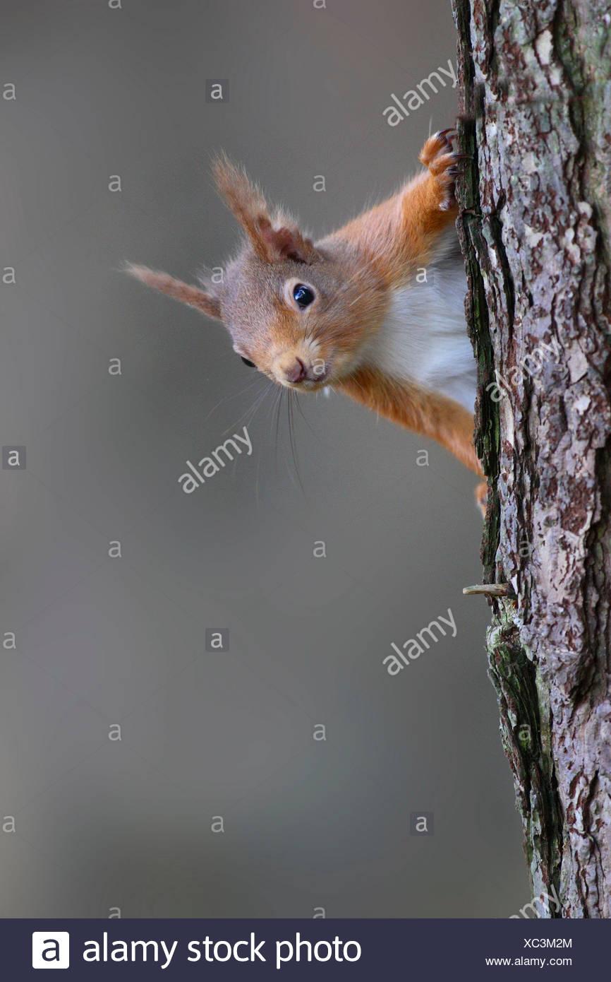 L'Écureuil roux, Sciurus vulgaris, au printemps. Strathspey, Ecosse Banque D'Images
