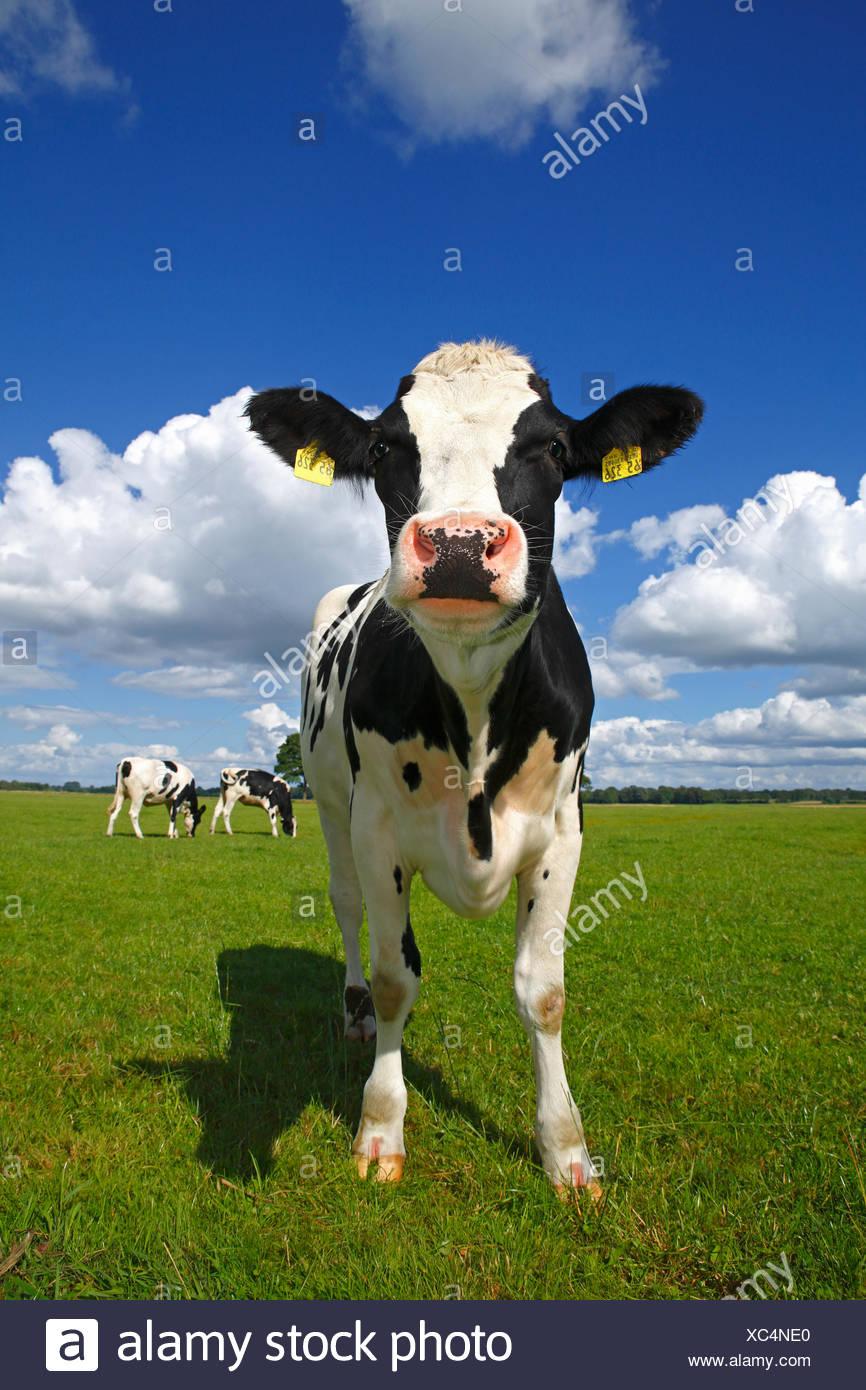 Frison de jeunes curieux sur un pâturage de vaches laitières, la réserve naturelle du Oberalsterniederung, Wakendorf, Schleswig-Holstein, Allemagne Photo Stock