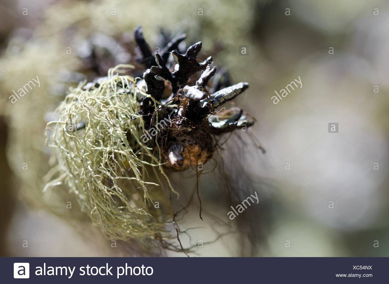 Nature's Abstract - Vert mousse haillons accroché sur l'extrémité de branche morte Photo Stock