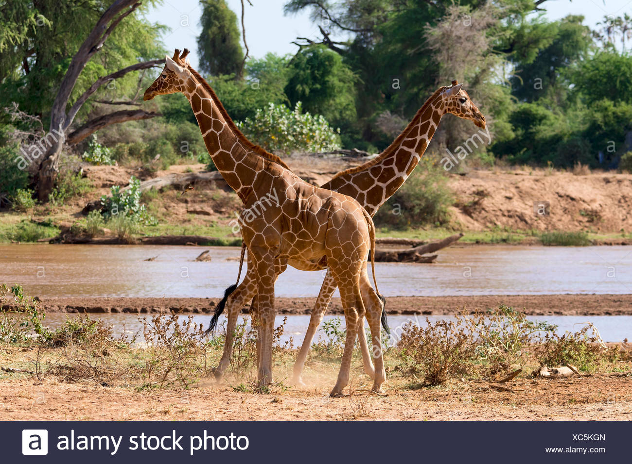 Les Girafes réticulée ou Somali girafes (Giraffa camelopardalis reticulata) par la rivière, la réserve nationale de Samburu, Kenya Banque D'Images