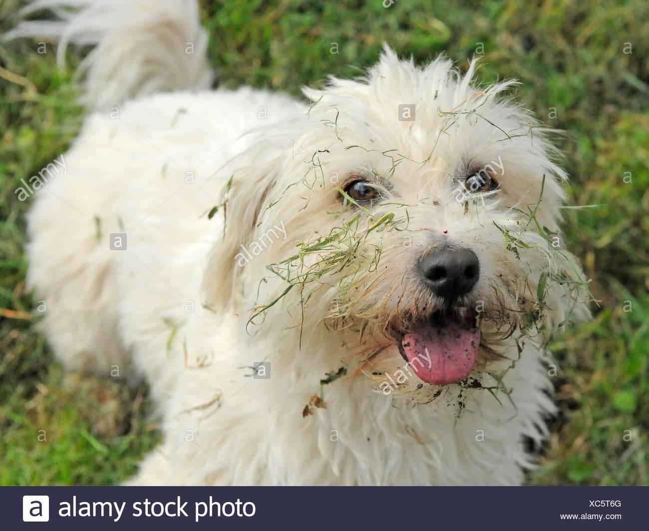 Un bichon frise blanche avec un visage boueux Photo Stock