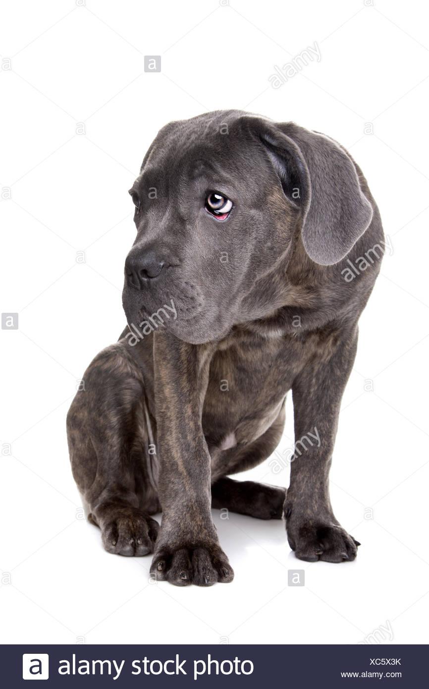 Grey Cane Corso Puppy Dog Photos Grey Cane Corso Puppy Dog Images