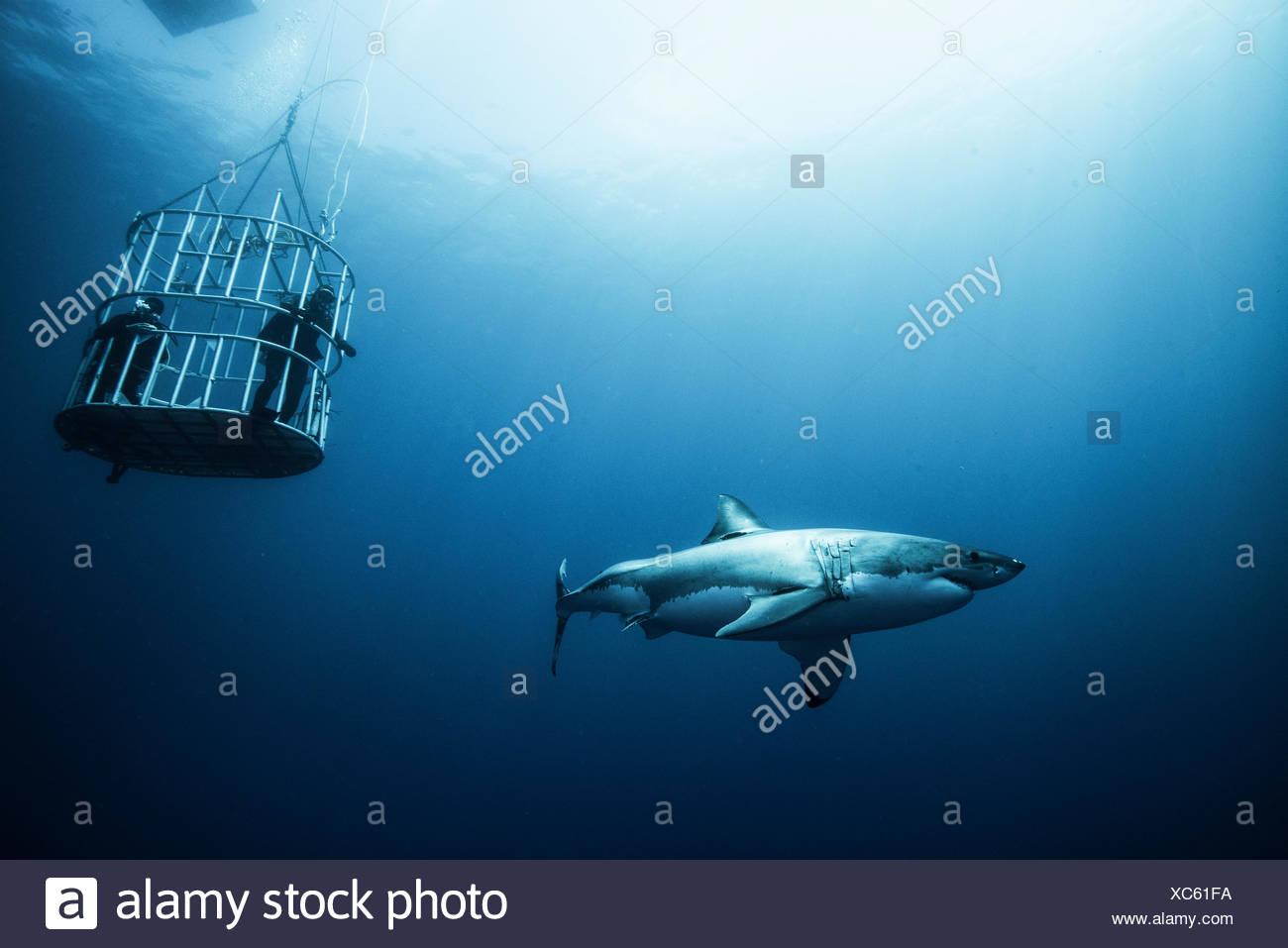 Grand requin cage chargée de plongeurs, l'île de Guadalupe, Mexique Photo Stock