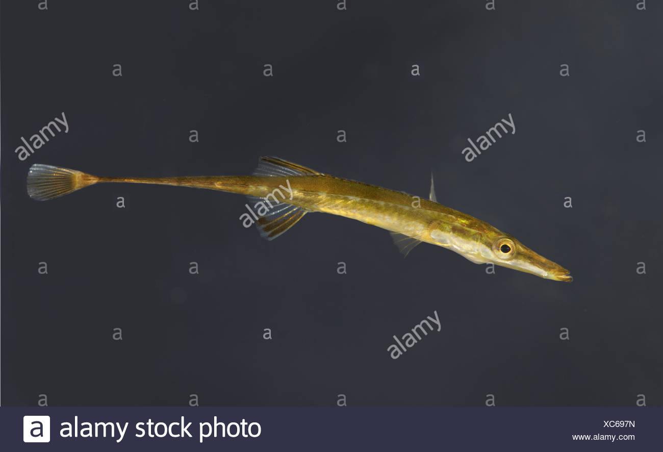 L'Épinoche à quinze - Spinachia spinachia Photo Stock
