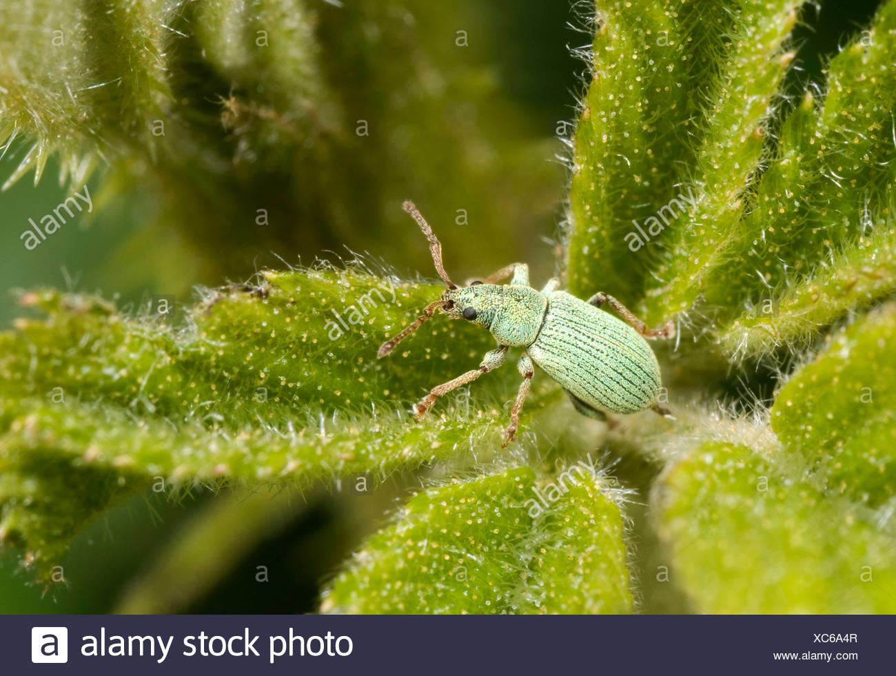 (Phyllobius pomaceus charançon). Jeunes adultes en montrant l'échelle verte intacte. Photo Stock