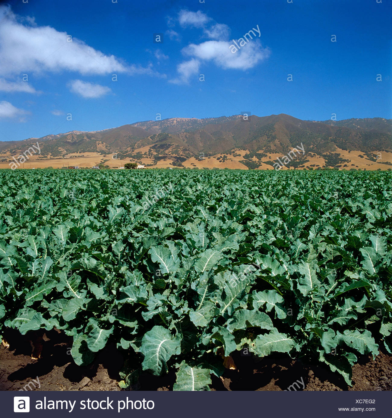 Agriculture Champ De Choux Fleurs Matures Prets Pour La Recolte