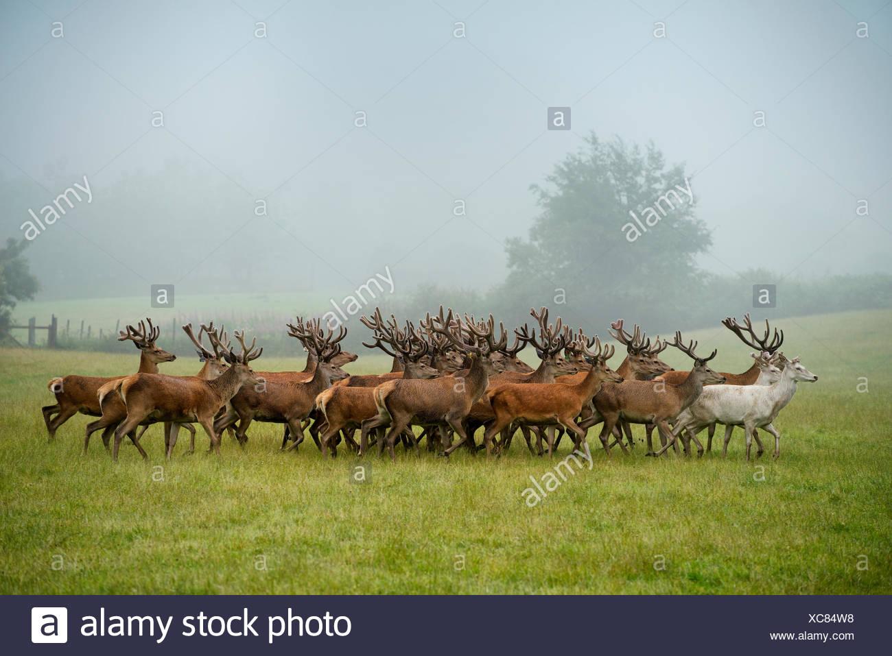 Un troupeau de cerfs sur une ferme de l'Auchtermuchty. Photo Stock